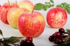Aún-vida con las manzanas rojo-amarillas y ashberry encendido Fotografía de archivo libre de regalías