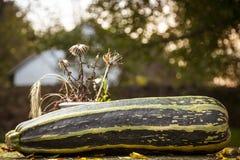 Aún-vida con un calabacín grande en otoño Imagenes de archivo