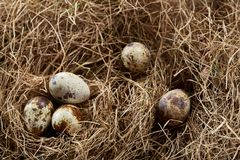 Aún-vida conceptual con los huevos de codornices en jerarquía del heno, cierre para arriba, foco selectivo Imágenes de archivo libres de regalías