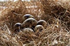 Aún-vida conceptual con los huevos de codornices en jerarquía del heno, cierre para arriba, foco selectivo Imagenes de archivo