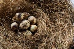 Aún-vida conceptual con los huevos de codornices en jerarquía del heno, cierre para arriba, foco selectivo Foto de archivo libre de regalías