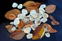 Aún-vida de las hojas marrones secas del otoño, cáscaras ovales anteriores del mar y tijeras seriferous del pequeño metal en la e Imagenes de archivo