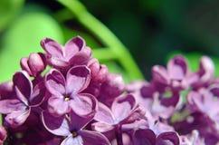 Aún vida hermosa con cierre de la lila de la flor para arriba Backgr de la postal Fotografía de archivo libre de regalías