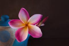 (aún-vida) plumeria hermoso o frangipani de la flor en tetera Imágenes de archivo libres de regalías