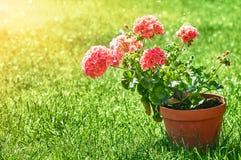 Aún-vida que cultiva un huerto y flor-creciente casera de la flor Imagen de archivo libre de regalías