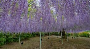 Żałość kwitnie w Japonia zdjęcie stock