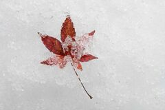 Free A 7-blade Red Maple Leaf On Snow Royalty Free Stock Photos - 204291628