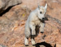 A Baby Mountain Goat Leaping On Rocks In The Mountains Stock Image