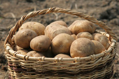 A Basket Of Potatoes. Royalty Free Stock Photo