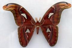 Free A Beautiful Brown Moth Stock Photos - 3480053