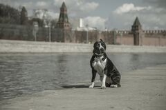 Free A Beautiful Dog Sits On The Embankment Opposite The Moscow Kremlin. Royalty Free Stock Photos - 215114788