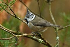 Free A Beautiful European Crested Tit, Lophophanes Cristatus Stock Photography - 214356722