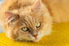Free A Beautiful Fluffy Orange Cat With A Big Green Eyes And Mustache Royalty Free Stock Photography - 129100697