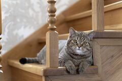 Free A Beautiful Fluffy Tricolor Purebred Cat Sits On The Stairs And Looks Into The Frame Stock Images - 182349654