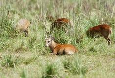 Free A Beautiful Hog Deer Resting Royalty Free Stock Image - 47212366