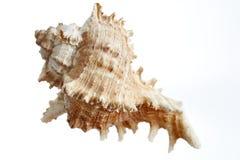 Free A Beautiful Isolated Sea- Shell Stock Photos - 138797113