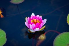 A Beautiful Lotus Flower Floating Above The Water. Waterlily In Garden Pond Stock Photo
