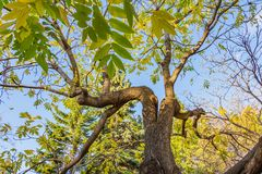 Free A Beautiful Old Fantastic Branchy Ash Tree With Green And Yellow Leaves In A Park In Autumn Royalty Free Stock Photography - 128118167