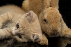 Free A Beautiful Orange Cat Kitten And Orange-brown Cute Rabbit Funny Positions. Animal Portrait Isolated On Black Royalty Free Stock Photo - 179962255