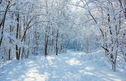 Free A Beautiful Snow-covered Landscape Of Spruce Forest In Winter. Winter Weather, Frost Stock Photos - 162501043