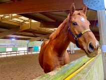 Free A Beautiful Tall Brown Horse In The Stables Stock Photo - 212933240