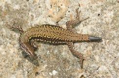 Free A Beautiful Wall Lizard Podarcis Muralis Sunning Itself On A Stone Wall. Royalty Free Stock Image - 97532526