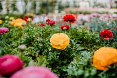 Free A Beautiful Yellow Ranunculus Flower Growing In A Plant Nursery Stock Photo - 174064920