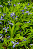 A Bed Of Purple Wildflowers Royalty Free Stock Images