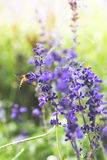 A Bee Above The Purple Flower. Royalty Free Stock Photography