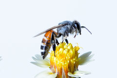 Free A Bee Flying Isolated On White Background Royalty Free Stock Photography - 98853627