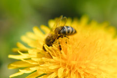 A Bee On A Dandelion Flower Stock Images