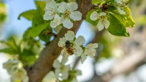 Free A Bee Or A Wasp Flies Near A Flower Tree. Insect Pollinates Cherry And Apple Flowers Royalty Free Stock Photography - 145469057