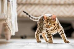 Free A Bengal Kitten Ready To Pounce Stock Photo - 136731980