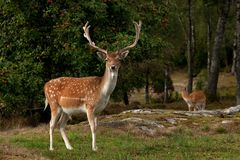 Free A Big And Beautiful 5 Years Male Buck Of Fallow Deer In Wood In Sweden Royalty Free Stock Image - 142082546