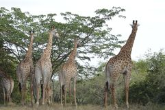 Free A Big Family Of Giraffe In Marloth Park Walking On Streets Around Houses Stock Photo - 125373980