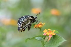 Free A Black And White Butterfly Standing On Yellow Flowers Stock Images - 153958214