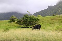 Free A Black Angus Cow Feeding On Grass Royalty Free Stock Images - 114056369