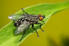 A Black Big Fly Sits On A Green Leaf Royalty Free Stock Photography
