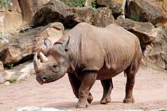 Free A Black Rhino Seen From The Side, Diceros Bicornis Michaeli Stock Photo - 194166730