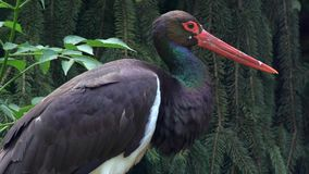 A Black Stork In Forest Royalty Free Stock Photos