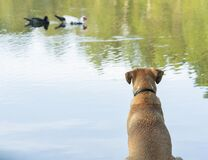Free A Blackmouth Cur Dog Sitting Patiently Watching A Pair Of Ducks Swimming By Royalty Free Stock Photo - 195638795