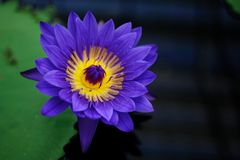 A Blue Tropical Water Lily Royalty Free Stock Photos