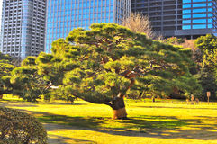A Bonsai Tree In Japanese Jarden Royalty Free Stock Photo