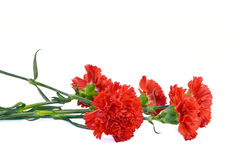 A Bouquet Of Red Carnations Royalty Free Stock Image