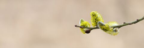 Free A Branch Of Goat Willow Or Pussy Willow With Yellow Buds Blossoming In Early Spring In Nature. Selective Focus. Banner. Flare. Royalty Free Stock Photography - 207521647