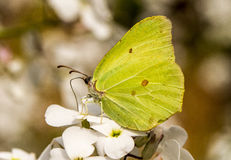 Free A Brimstone Butterfly On Hespiris Stock Images - 55227394