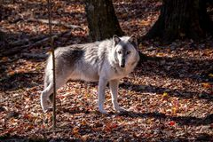 Free A British Columbia Wolf Standing Sideways In The Forest With Autumn Colored Leaves Covering The Ground Royalty Free Stock Images - 164091149
