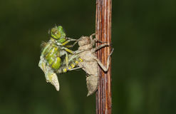 A Broad Bodied Chaser Dragonfly Libellula Depressa Emerging From The Back Of The Nymph . Stock Images