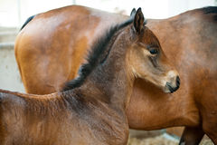 Free A Brown Foal Royalty Free Stock Photo - 24919825