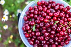 Free A Bucket Of Beautiful Juicy Ripe Cherries, A Bucket Of Collected Berries Cherry Royalty Free Stock Photography - 169667907